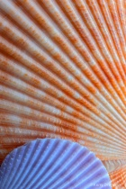 Scallop Shell Pattern 1