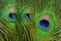 Peacock Feathers Macro 2