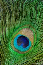 Peacock Feather Macro 1