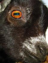 Go, Goat, Go