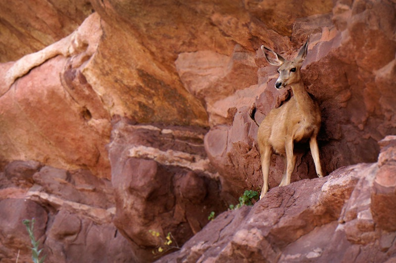 Deer at Red Rocks