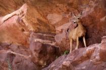 Deer at Red Rocks