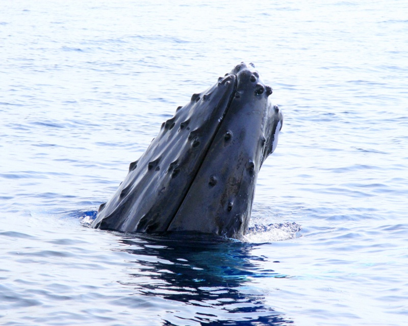Spy hopping..Male Whale.