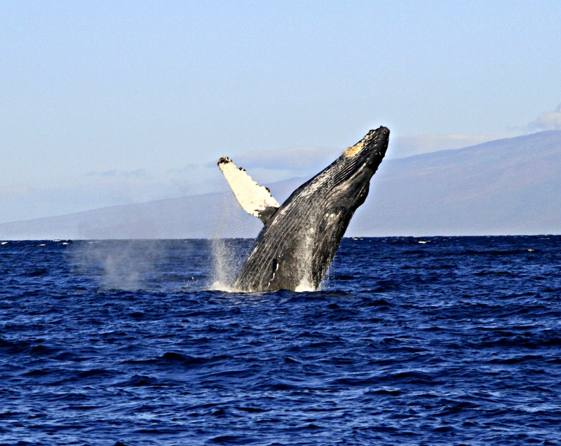 Male Humpback Breaching!