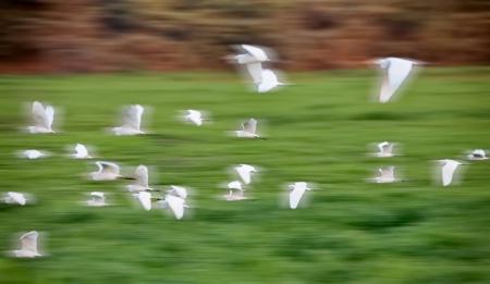 Egrets in Motion