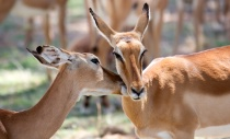 Impala Affection