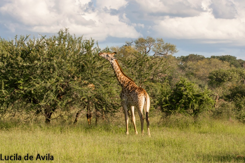 Giraffe feeding from a tall tree