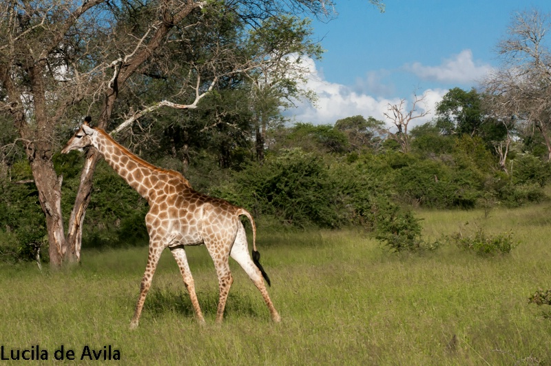 Giraffe unthreatened  by our presence at Mala Mala