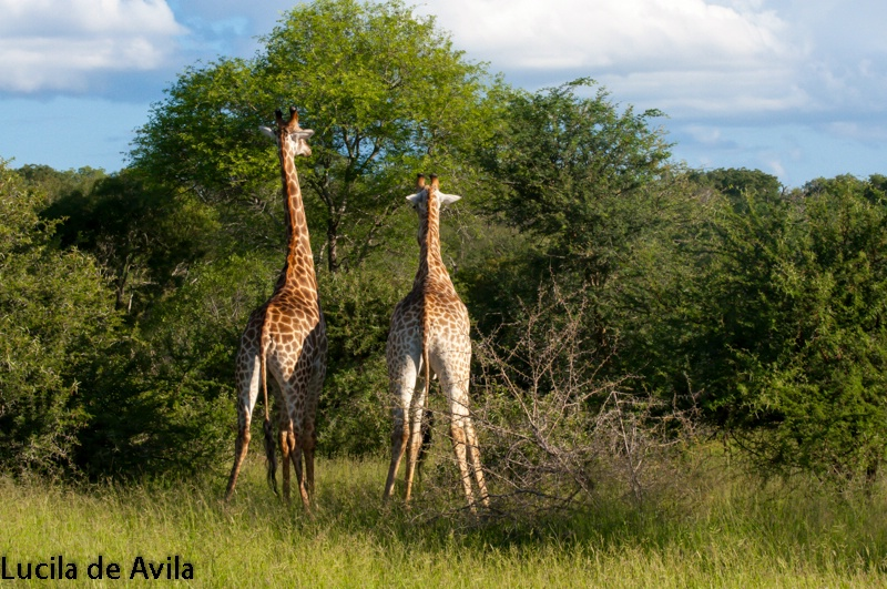 Two Giraffes in Mala Mala Game Reserve in South Af