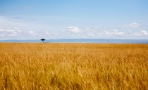 Golden Grasslands...