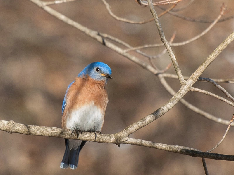 First Bluebird of the Year
