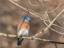 First Bluebird of...