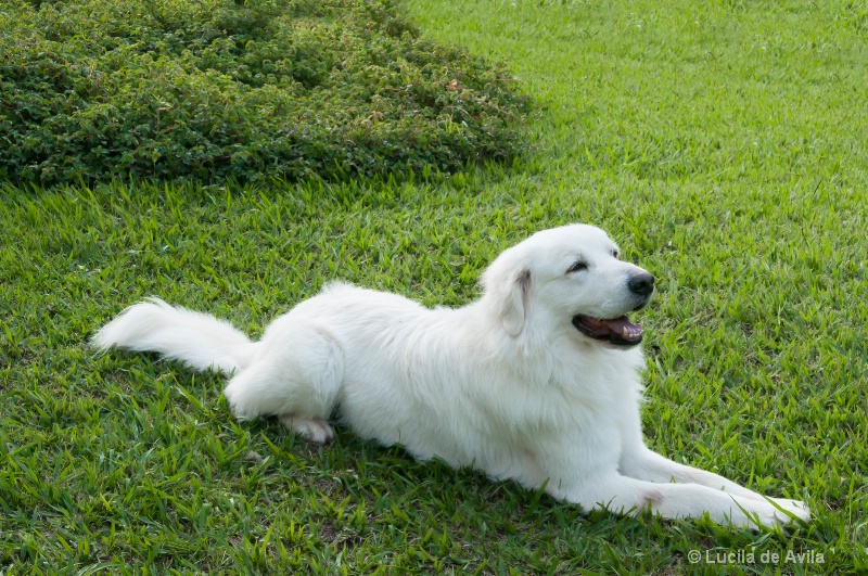 White Dog in Green Grass Background
