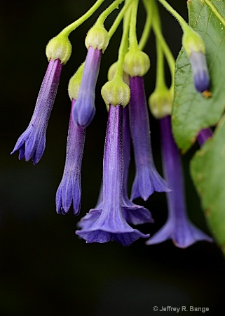 """Purple Trumpet Flower"""
