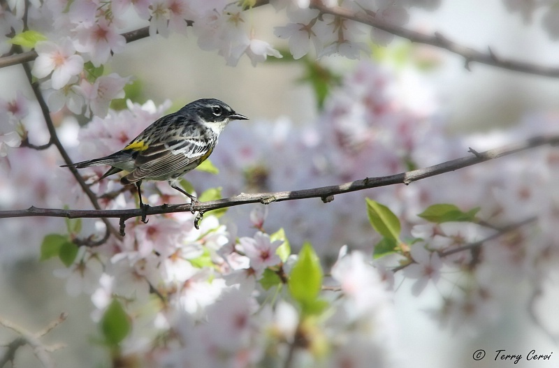 Warbler in the Blossoms