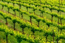Vineyard Pattern ...