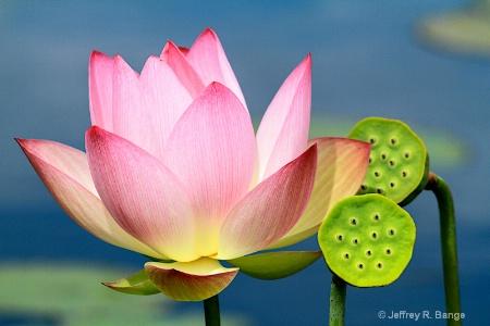 "Lotus - Nelumbo Nucifera ""Shiroman"""
