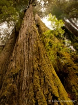 Giant Redwood Tre...