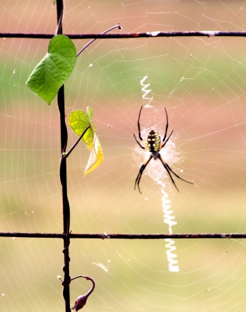 Orb Weaver Spider Web ( With Spider)