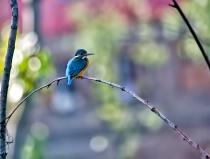 Kingfisher -1