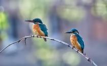 Kingfishers - 2