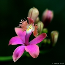 """Epidendrum Pacific Sunset"""