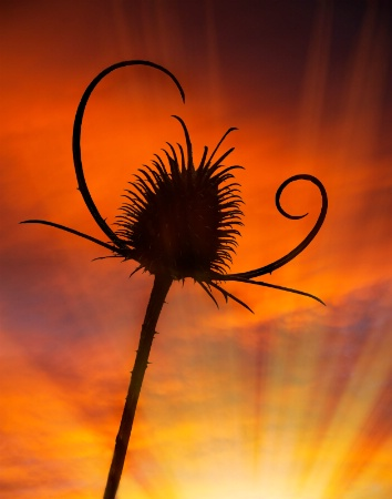 Thistle at Sunset