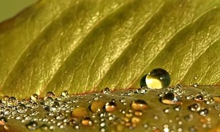 Drops On A Leaf