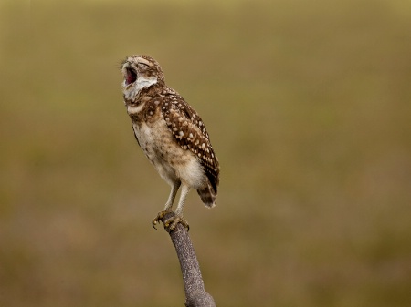 Burrowing Owl Yawn