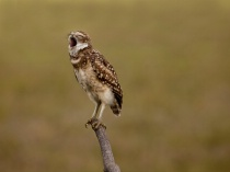 Burrowing Owl Yaw...