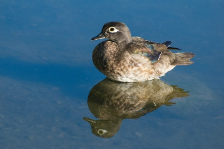 Juvenile Male Wood Duck in Still Water