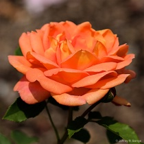"Shrub Rose - ""Lady of Shalott"""