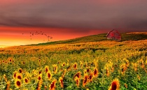 Sunflower Sundown