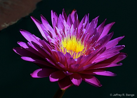 "Tropical Waterlily - ""Ultra Violet"""