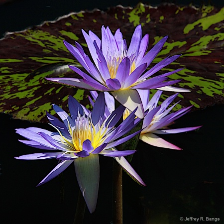 "Tropical Waterlily - ""Star Of Siam"""