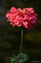 Aging Pink Zinnia