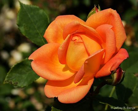 """Shrub Rose - """"Lady of Shalott"""""""