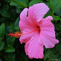 """Pink Hibiscu..."