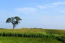Tree And Corn Row...