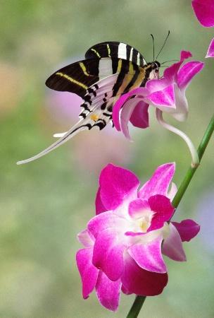 Swordtail Swallowtail