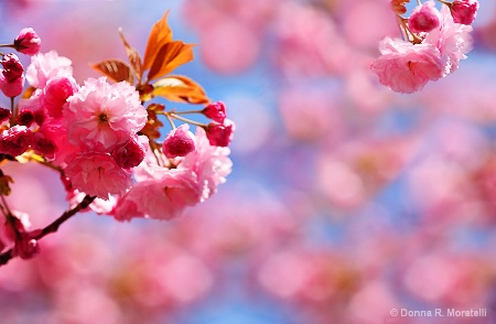 Cherry blossoms abstract