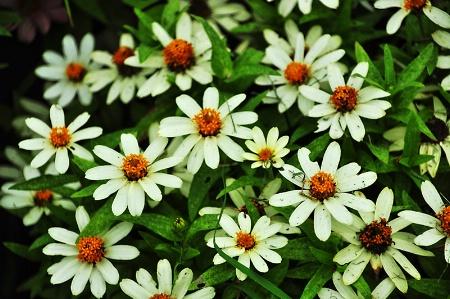 WHITE  LITTLE  FLOWERS