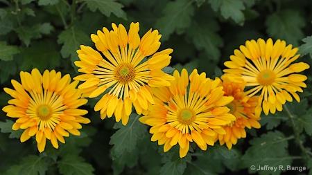 """Spoon Chrysanthemum"""