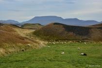Sheep Grazing ami...