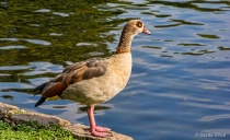 Egyptian Goose in...
