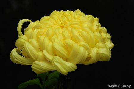 """Chrysanthemum #7 - """"Kiku In Japanese"""""""