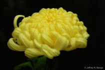 Chrysanthemum #7 ...