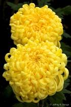Chrysanthemum - &...