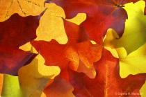 autumn Maple leav...