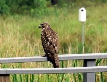 Hawk At Lime Cree...